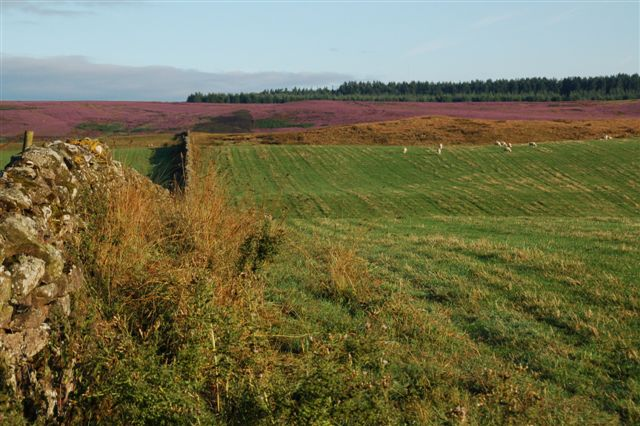 View of the heather at Cornhills Farmhouse.