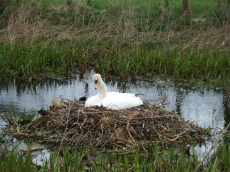 Swan sitting on nest at Belsay near Cornhills Farm.